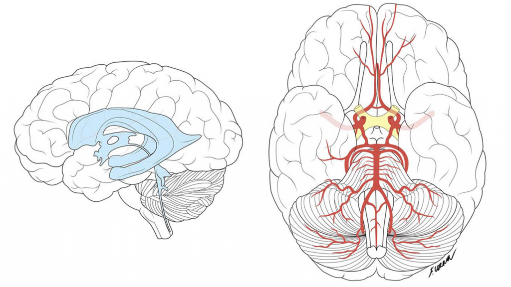 Francesca Corra Medical Illustration Brain Diagram