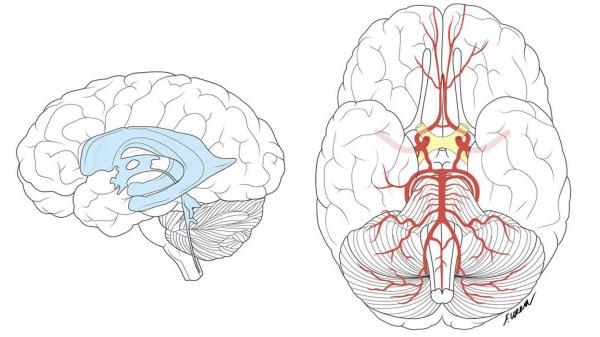 Francesca Corra Medical Illustration Brain Diagram