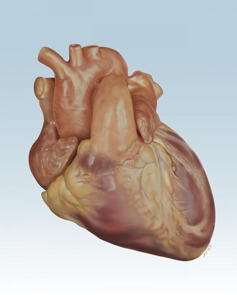 Francesca Corra Medical Illustration Heart Anatomy