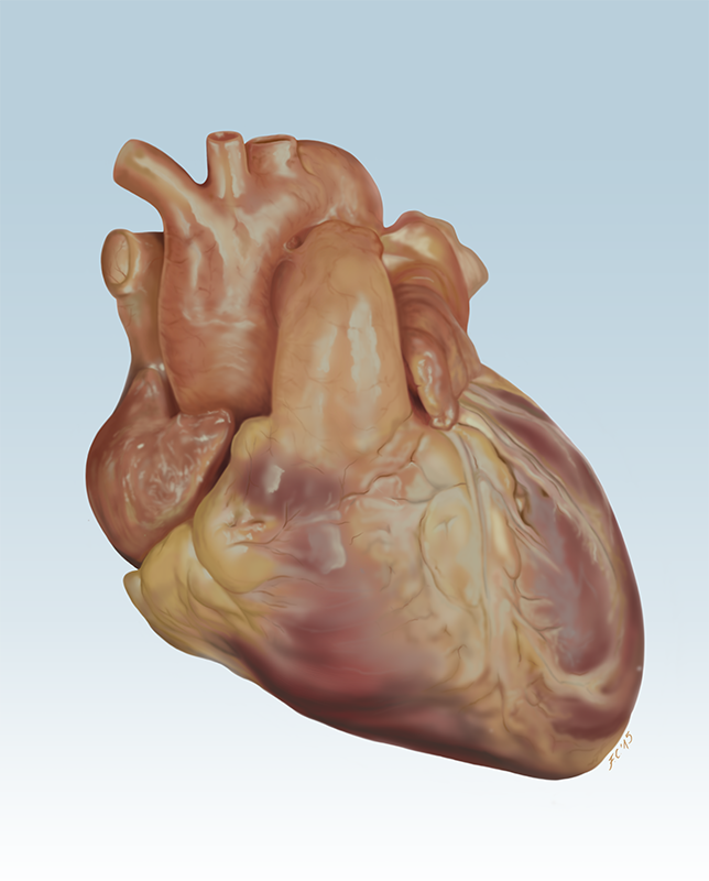 Francesca Corra Medical Illustration Heart Anatomy