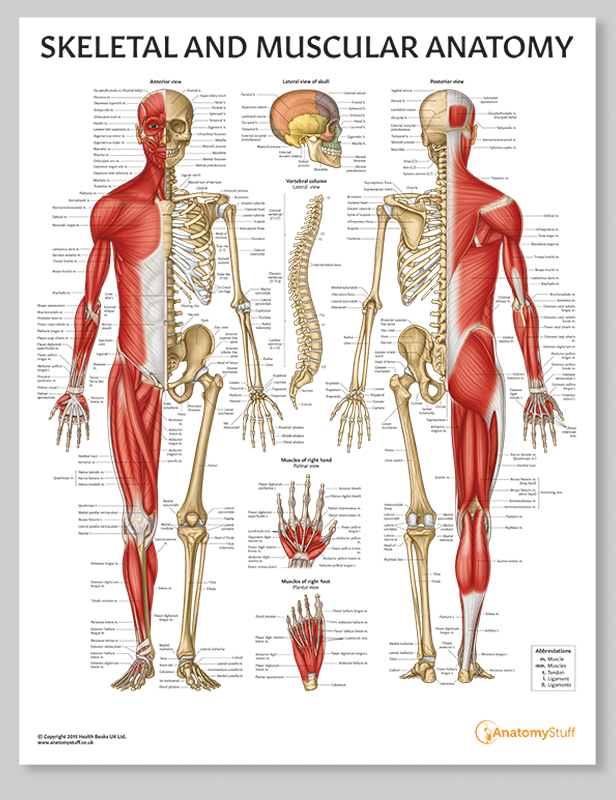 Francesca Corra Medical Illustration Anatomy poster