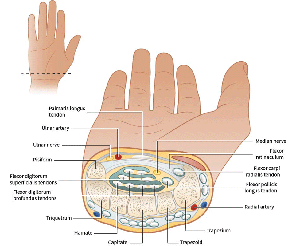 Francesca Corra Medical illustration carpal tunnel release_anatomy