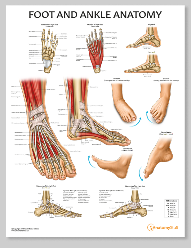 Francesca Corra Medical Illustration Foot Anatomy Poster