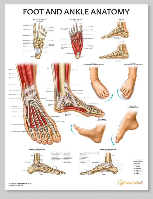 Francesca Corra Medical Illustration Foot Anatomy Poster