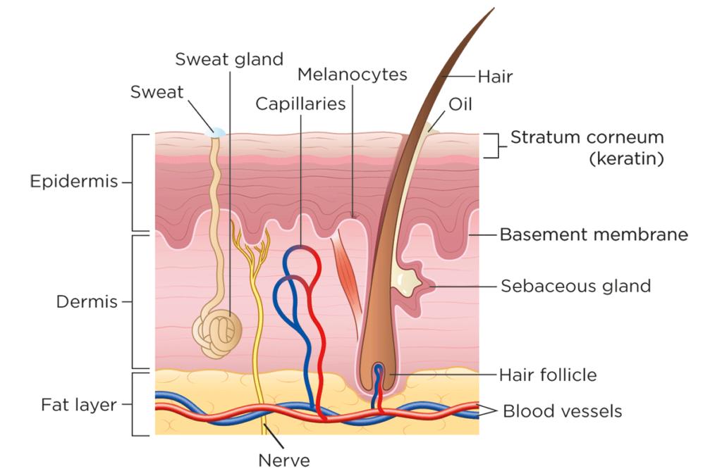 Francesca Corra Medical Illustration Hair Anatomy