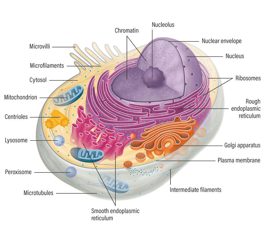 Francesca Corra medical illustration mammalian cell